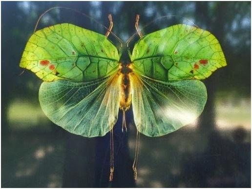 Cycloptera Speculata